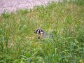 Picture of a Badger in Wisconsin