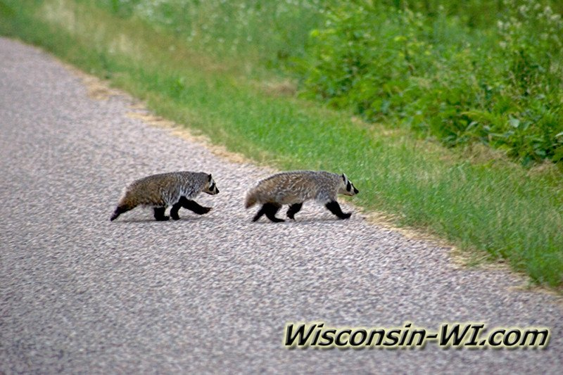 Badgers in WI
