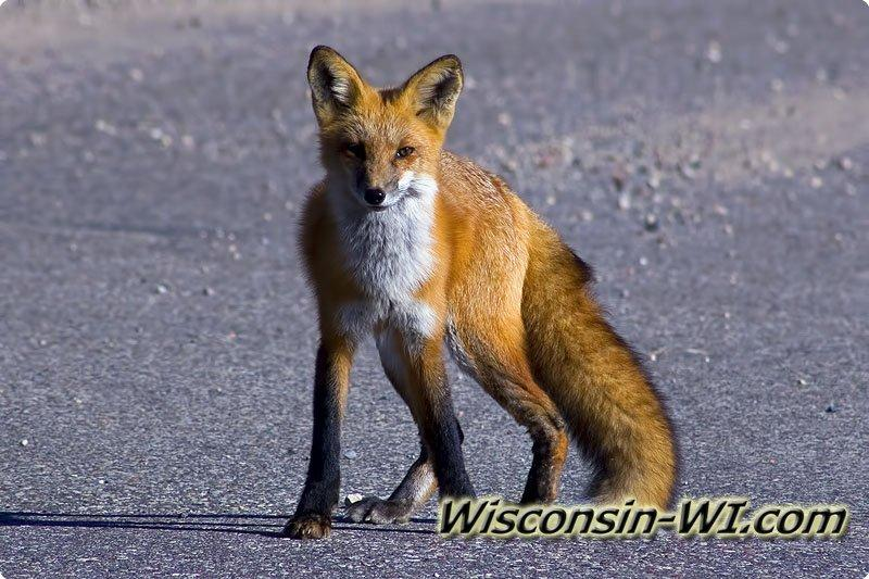 red fox in wi