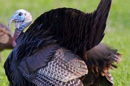 Wild Turkey Photos