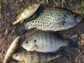 Photo of Panfish.