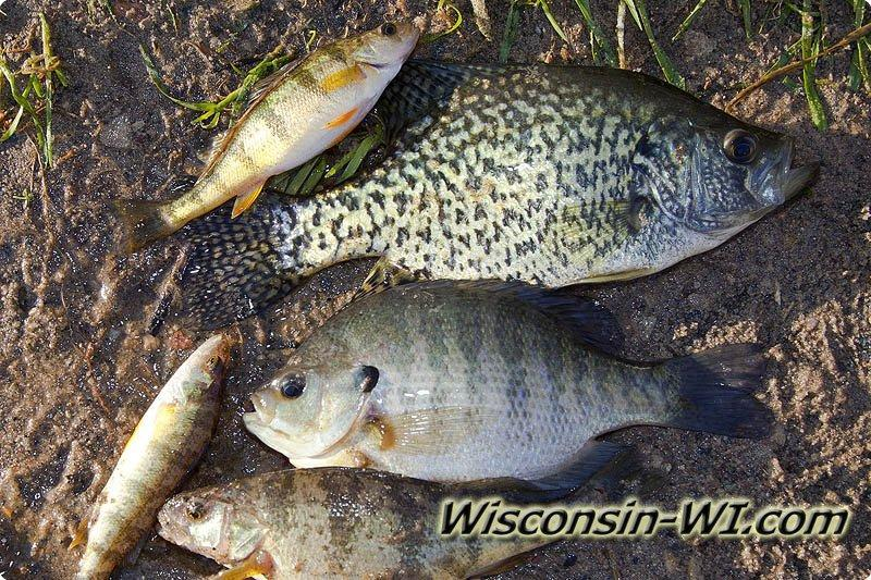 Panfish fishing lures baits tackle gear used in wisconsin for Bluegill fishing lures