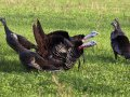 Wild Eastern Turkeys