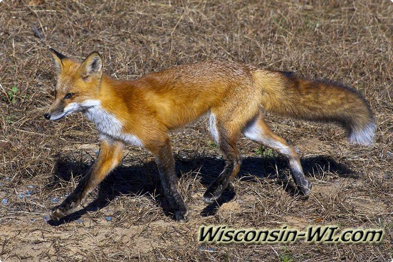 Wisconsin Wildlife - W...