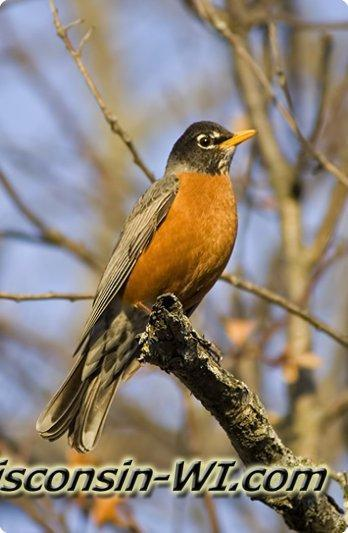 Photo of The American Robin, Wisconsin's State Bird