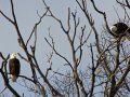 Bald Eagles Perched in a Tree.