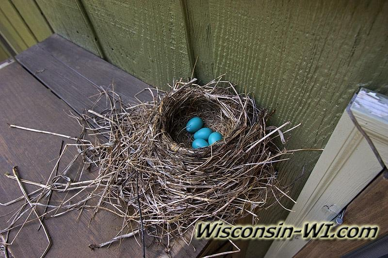Photo of a Robin's Nest with bright blue eggs.