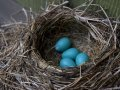 Picture of Robin Eggs in Wisconsin