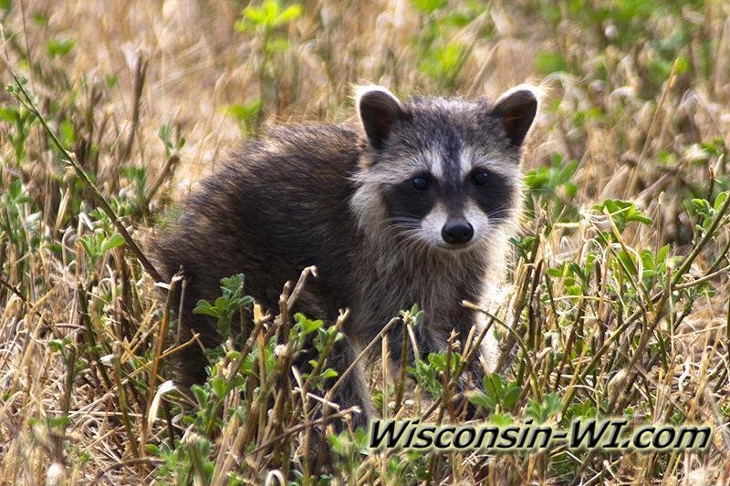 Wisconsin Wildlife Photos - Raccoon