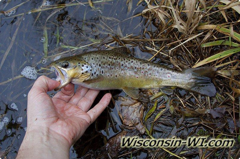 Trout fishing in wisconsin for Trout fishing wisconsin