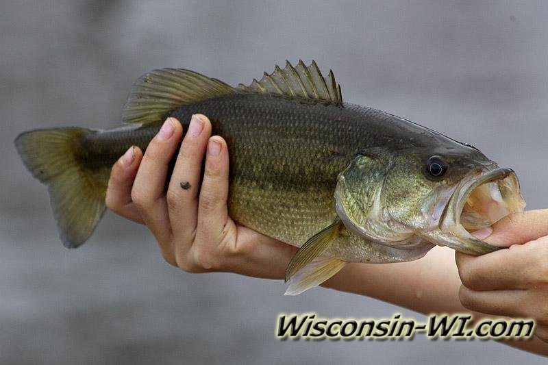 Wisconsin Largemouth Bass Photo