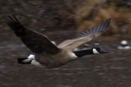 Canadian Geese Photos