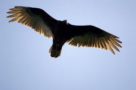Turkey Vultures Photos