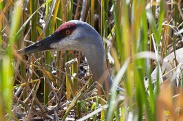 Sandhill Crane Photos