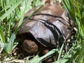 Wisconsin Snapping Turtle